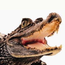krokodil crocodile