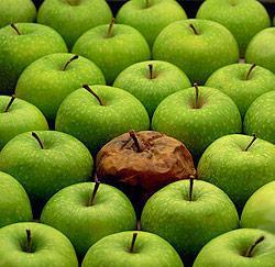 Pomme pourrie ?